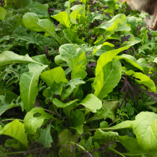 Organic Mighty Spicy Mesclun Mix
